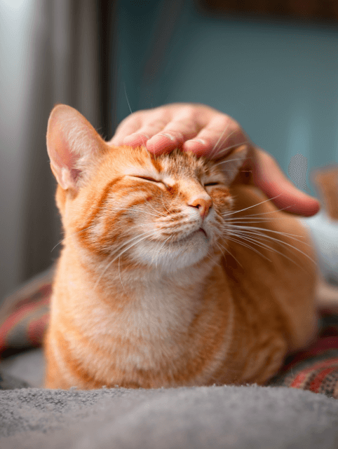 And orange cat closing its eyes while being stroked