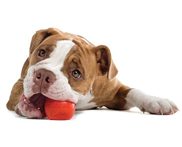 Adorable Pit Bull laying down chewing on red rubber ball on white background