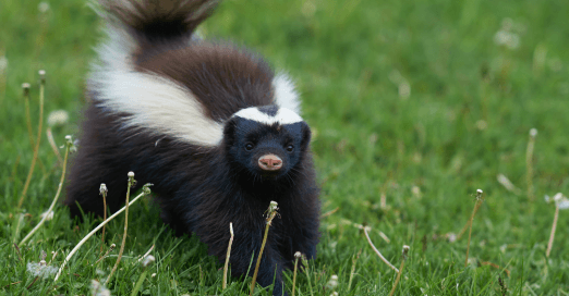 Frontal view of a skunk