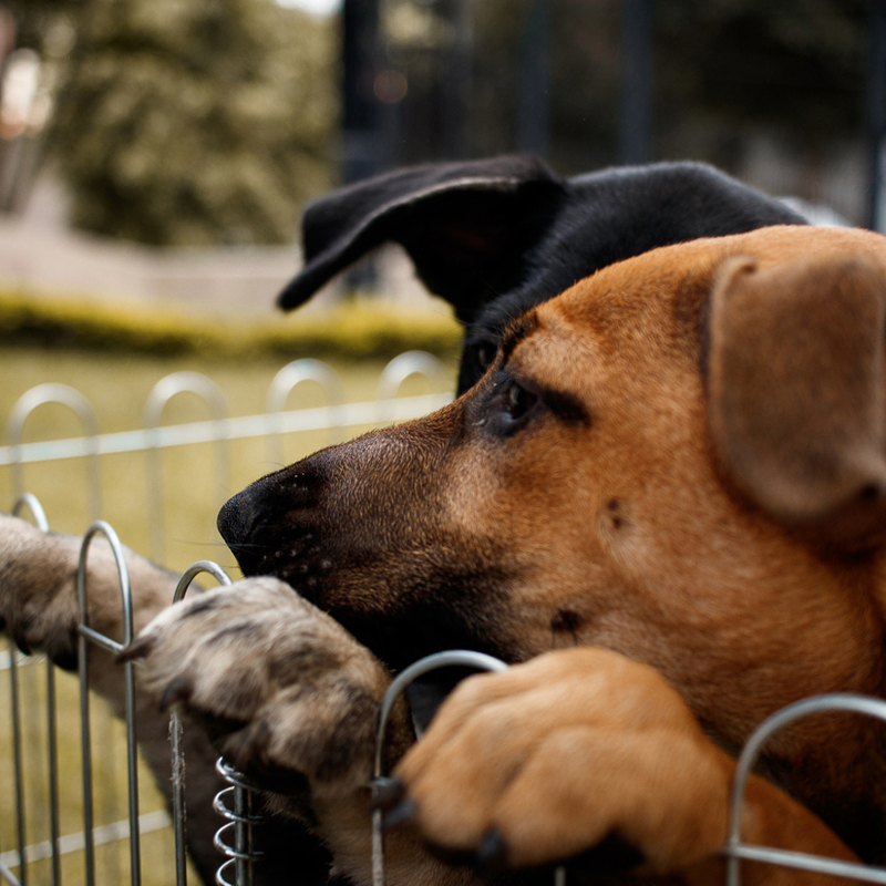 two dogs peaking over a fence