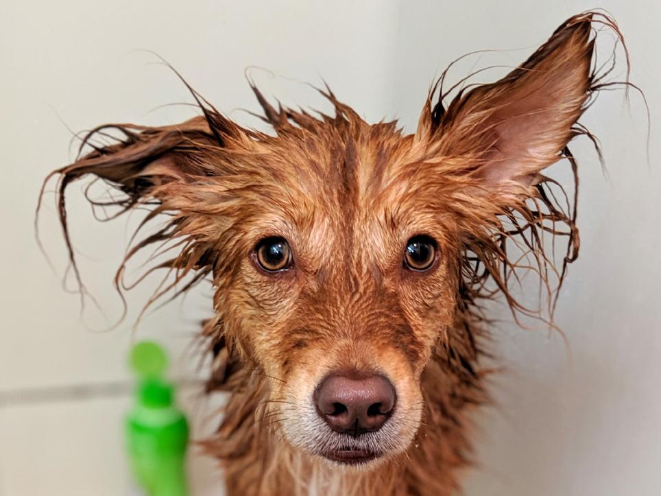 Dog getting a bath.