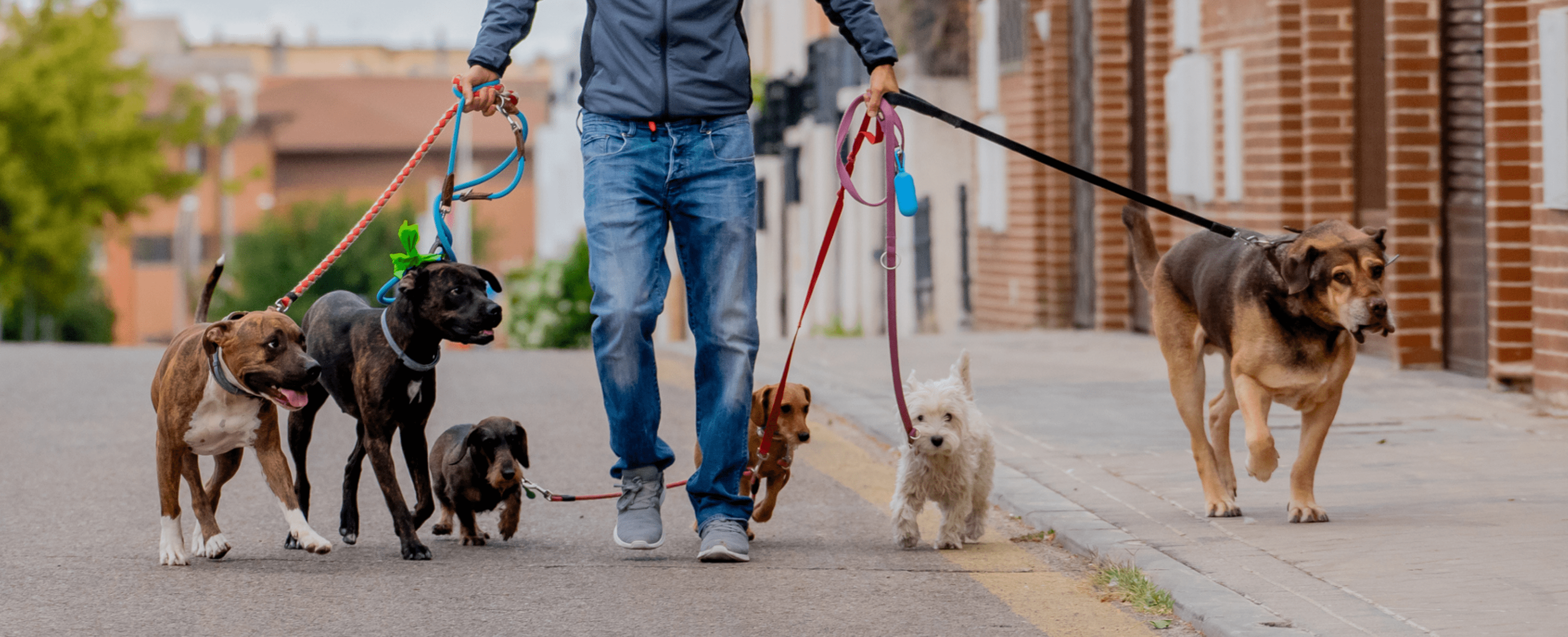A man walking several dogs