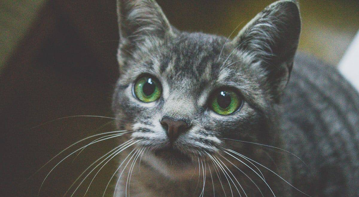 5 Purrfect Health Benefits of CBD for Cats