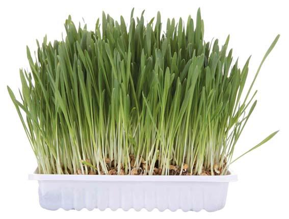 Kattgräs med Odlingslåda