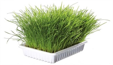 Kattgräs Vitaminberikat med Odlingslåda