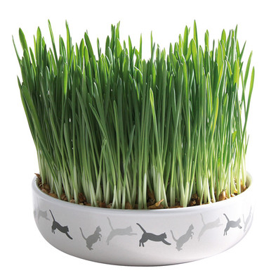 Kattgräs med keramikskål - 50 g