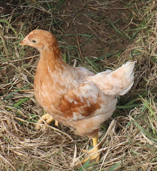 Production Red Pullet (Female)