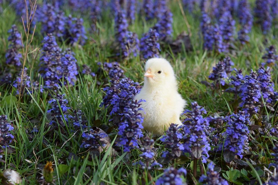 chick-1873161-960-720.jpg