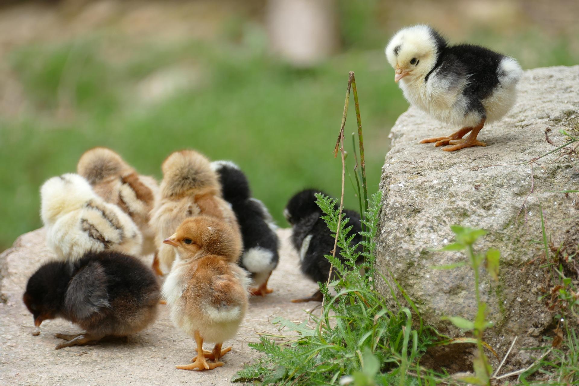 chick-2652695-1920.jpg