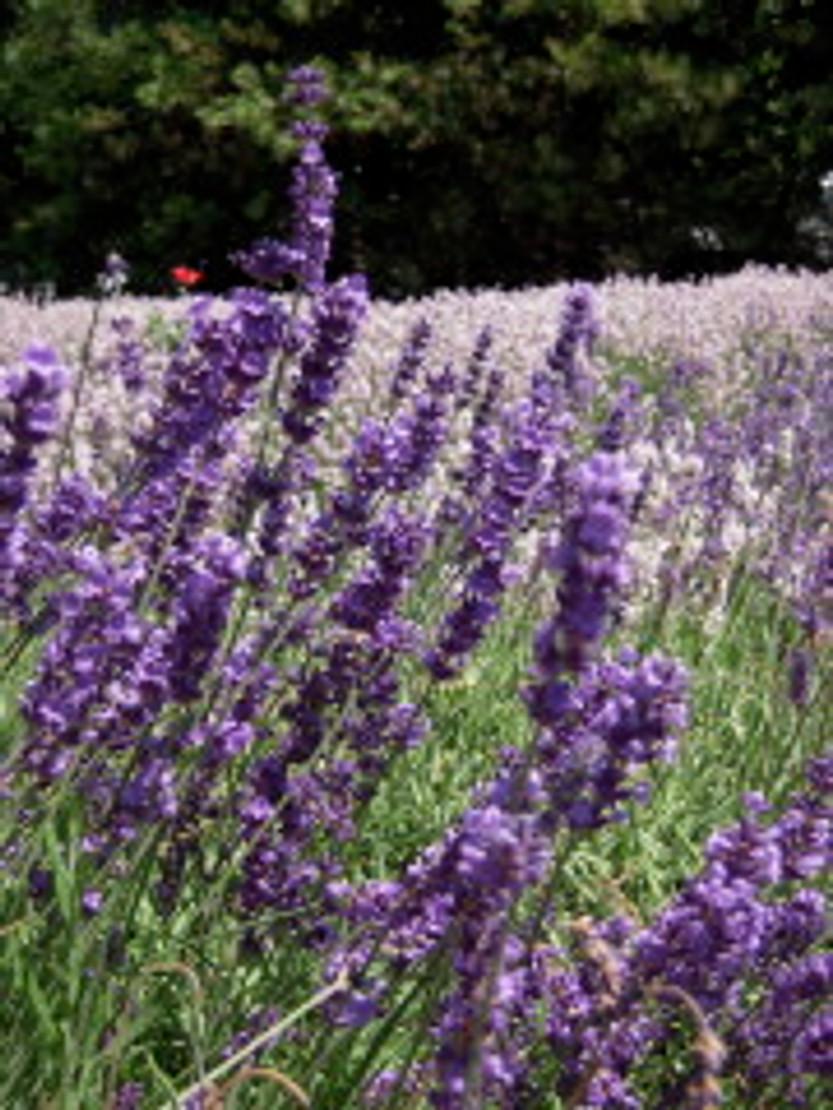Spotlight on: Lavender