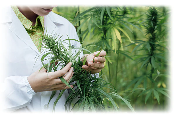 A woman in a lab coat inspecting the leaves of a hemp plant