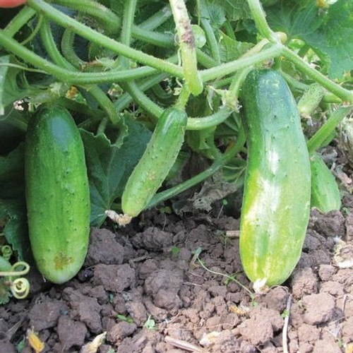 Territorial Double Yield Cucumber Seed