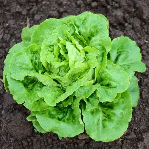 Territorial Buttercrunch Lettuce Seed