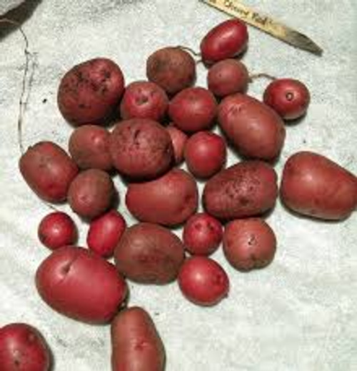 Cherry Red Seed Potato, 5lb
