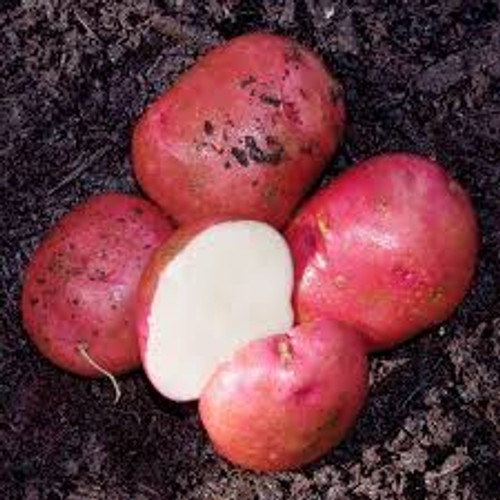 Red Chieftain Seed Potato, 5lb