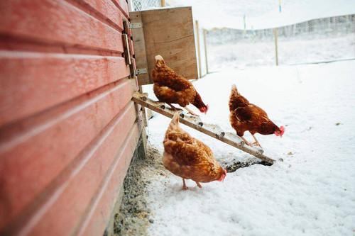 Virtual Winterizing Chickens Class