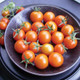 Territorial Sungold Tomato Seed