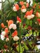 Renee's Garden 'Painted Lady' Heirloom Runner Bean Seed