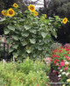 Renee's Garden 'Heirloom Titan' Giant Sunflower Seed