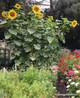 Renee's Garden 'Heirloom Titan' Giant Sunflower Seed