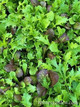 Renee's Garden 'California Spicy Greens' Signature Salads Seed