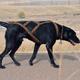 Howling Dog Skijor Standard Harness, Assorted Colors