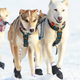 Howling Dog Skijor Distance Harnesses, Assorted Colors