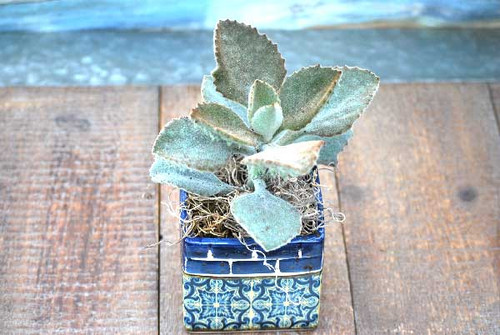 Barcelona blue yellow mini square potted succulents
