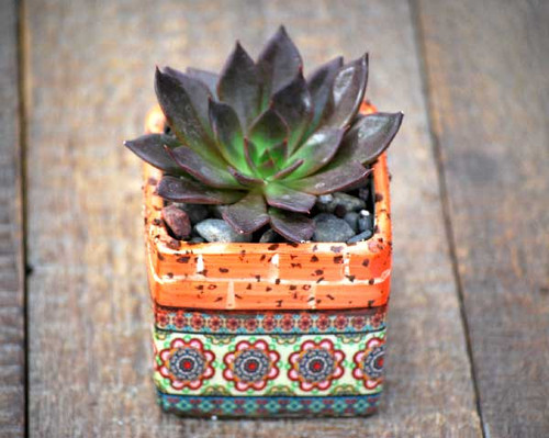 Barcelona Orange Multi Mini Square Potted Succulent