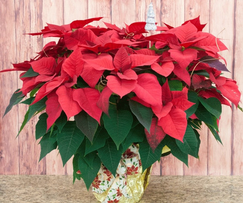 Decorated Poinsettia