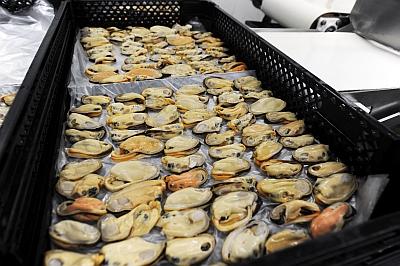 green-lipped-mussel-nz