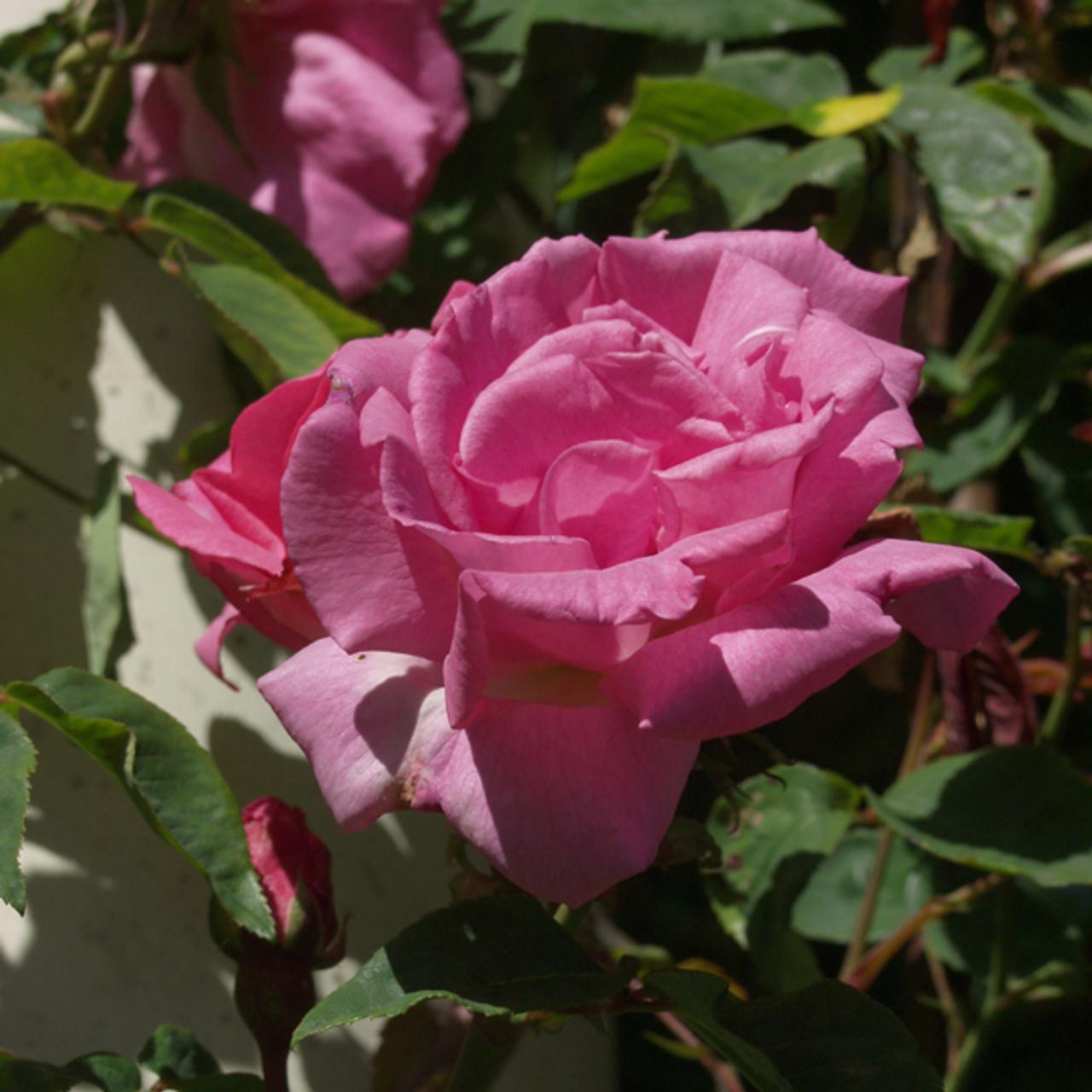 Zephirine Drouhin Climbing Rose 'zéphirine drouhin' bourbon rose (rosa cv.)