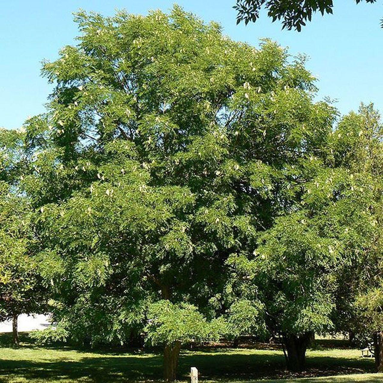 Kentucky Coffeetree Gymnocladus Dioica Monticello Shop
