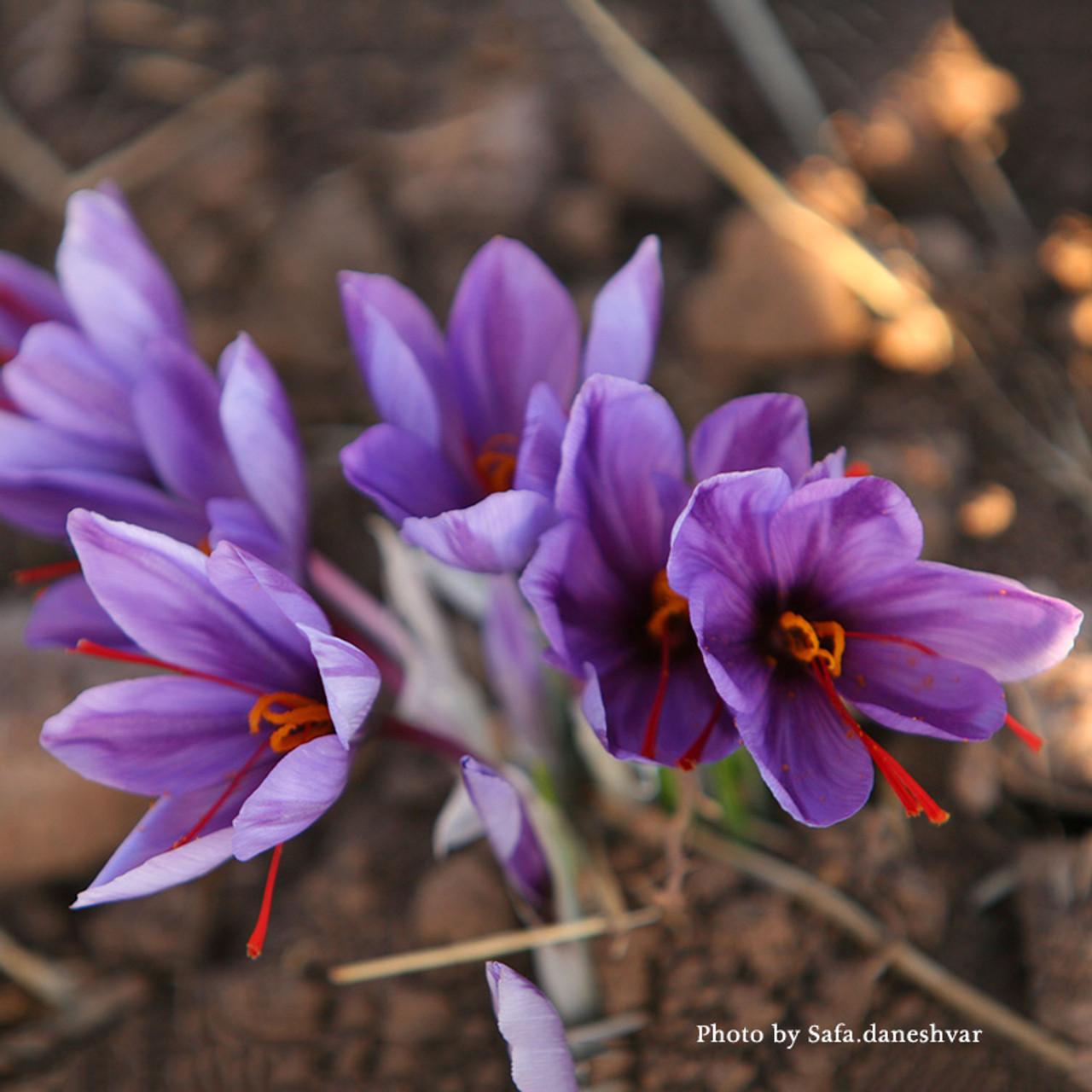 Saffron Crocus Crocus Sativus Monticello Shop