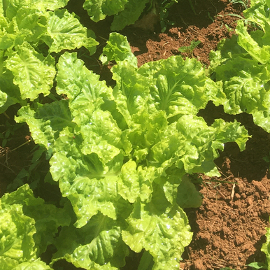 2000 SEEDS LETTUCE Vegetable seeds Lactuca sativa ALL YEAR ROUND