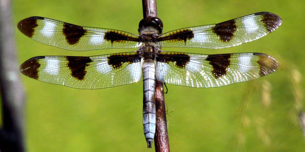 Twelve-Spotted Skimmer Wing Earrings