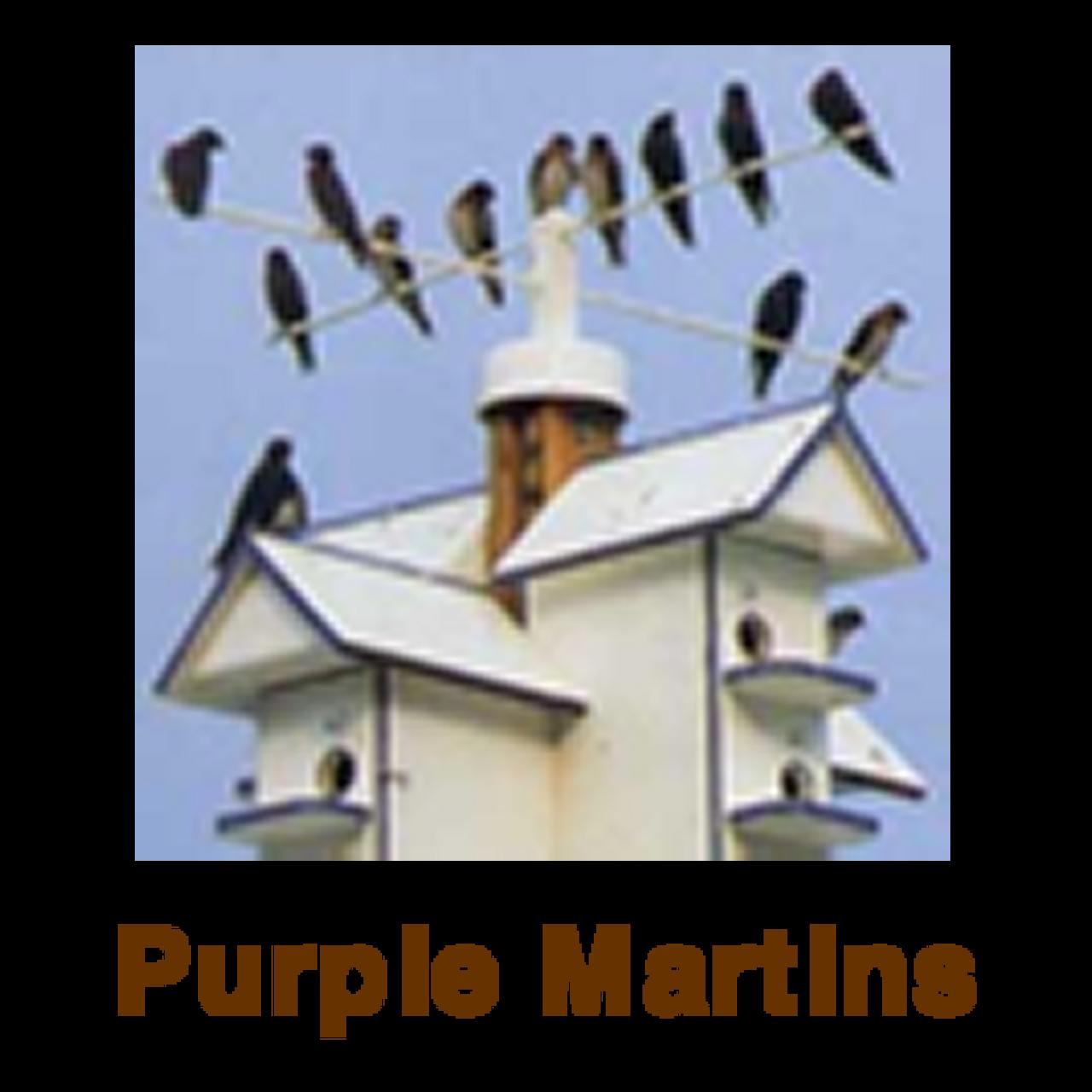 Purple Martins