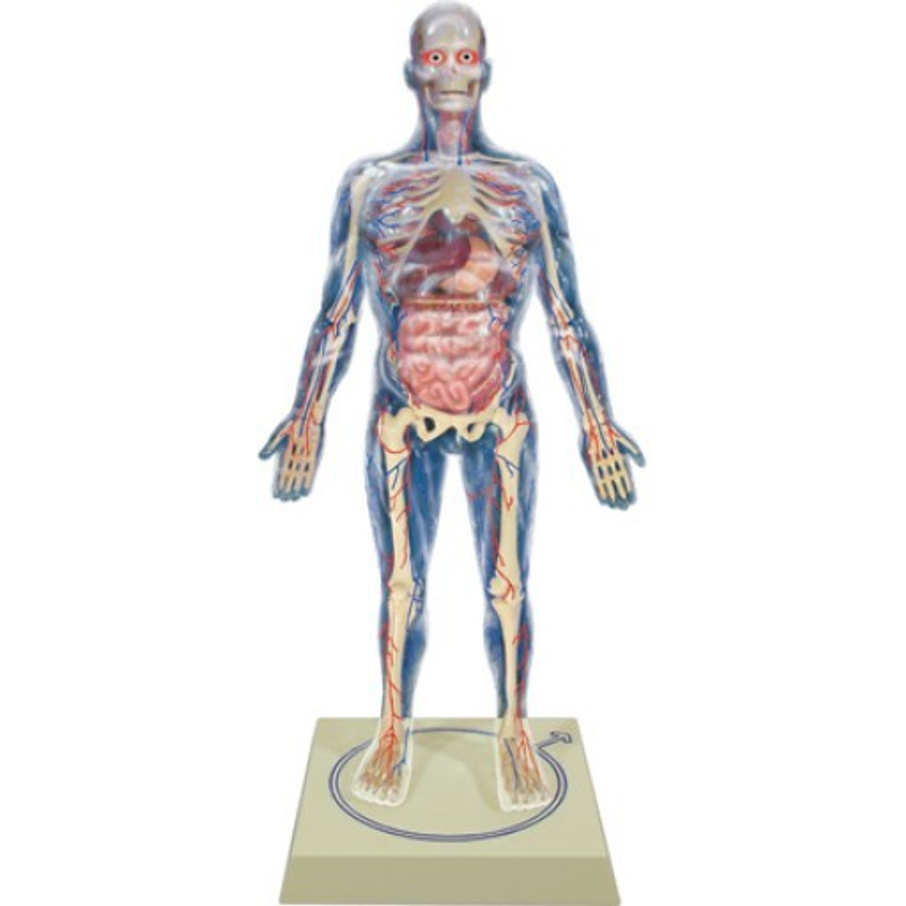 Science Study of Anatomy and Human Body Parts