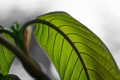 Your Complete Guide to Maeng Da Kratom