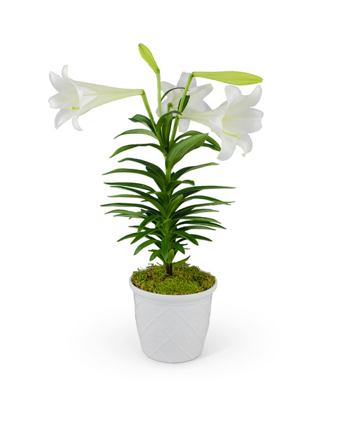 Classic Easter Lily