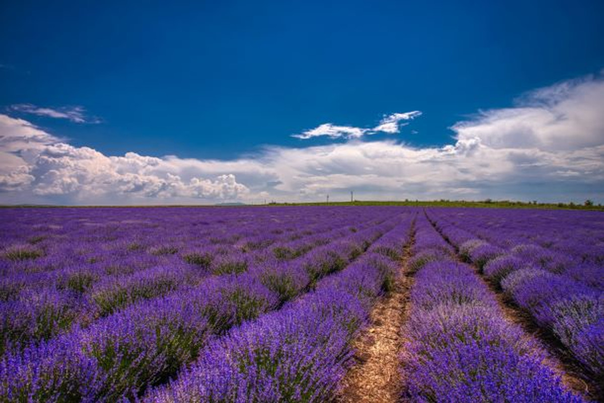 10 Wellness Benefits of Lavender