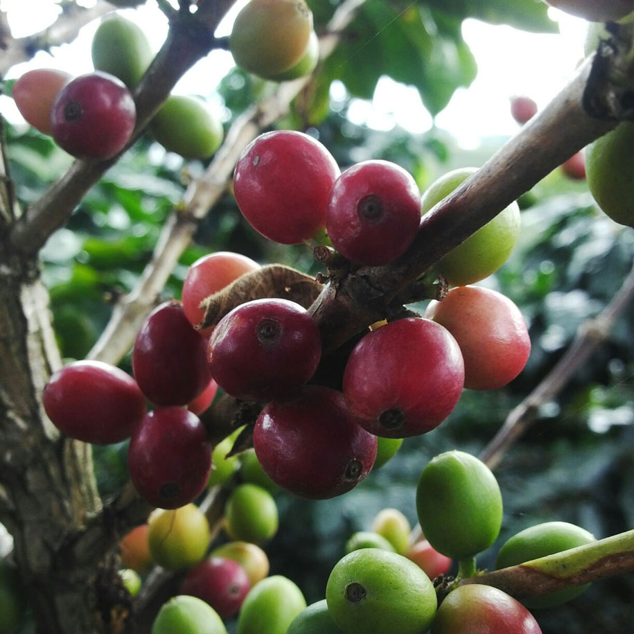 Our coffee growing as cherries on the arabica coffee tree. Direct supply from producers in Colombia.
