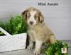 Pete Miniature Australian Shepherd Puppy