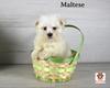 Buddy, Maltese Puppy