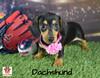 Ella, Dachshund Puppy