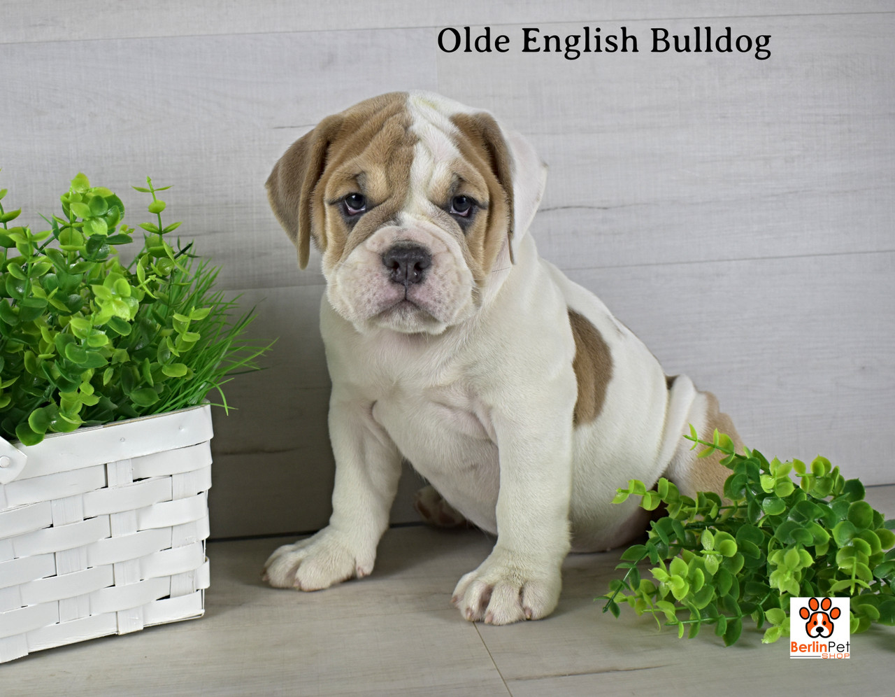 Dixie Old English Bulldog Puppy For Sale Berlin Pet Shoppe