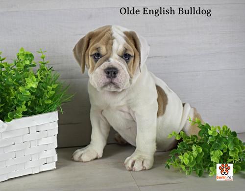 Dixie Old English Bulldog