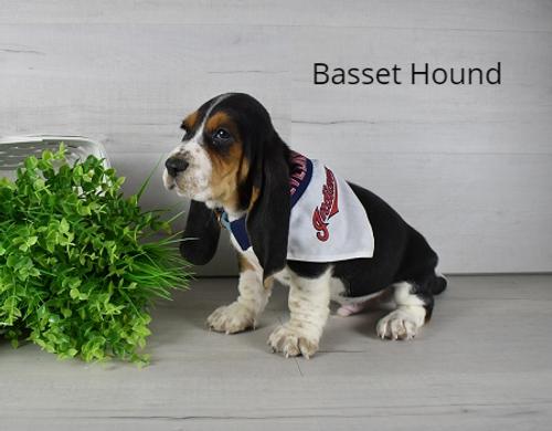 4183 Bruno Basset Hound