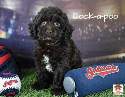 Holly Cock-a-poo Puppy