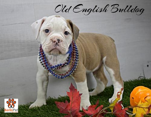 Orion, Olde English Bulldog